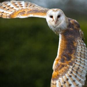Owl Witches Familiar 300x300