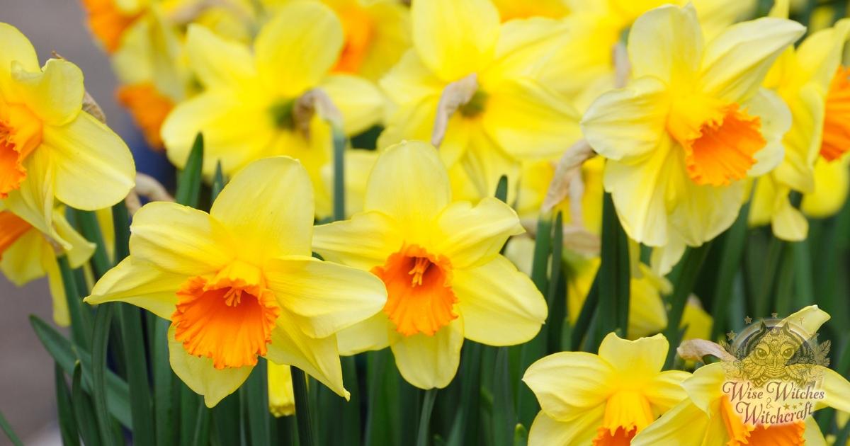 daffodil prosperity magick 1200x630