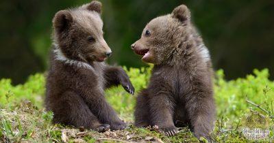 bear animal omen and spirit guide 1200x630