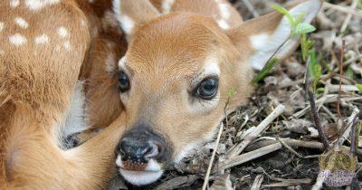 deer animal omen and spirit guide 1200x630