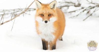 fox animal omen and spirit guide 1200x630