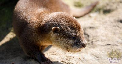 otter animal omen and spirit guide 1200x630