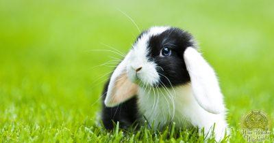 rabbit animal omen and spirit guide 1200x630