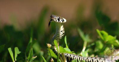 snake animal omen and spirit guide 1200x630